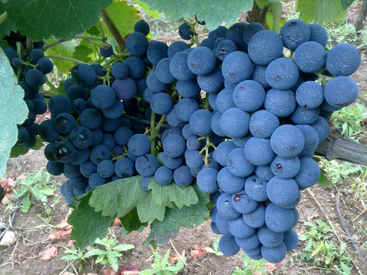 Aglianico - I principali vitigni italiani